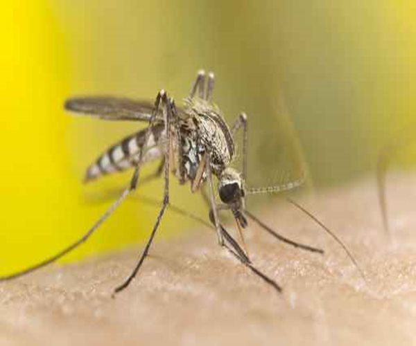 Scientists Develop Method to Reduce Population of Dangerous Mosquitoes